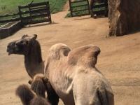 Camellos en el parque de la naturaleza de Cabarceno