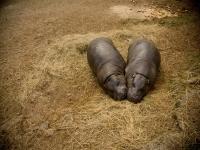 Los hipopotamos estan durmiendo