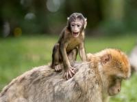 Los monos de Cabarceno
