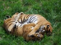 Los tigres de Cabarceno