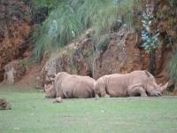 Rinocerontes descansando