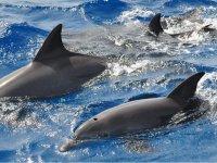 Cetaceos接近在大加那利船海豚
