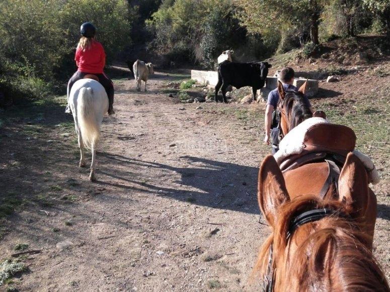 Horses among cattle