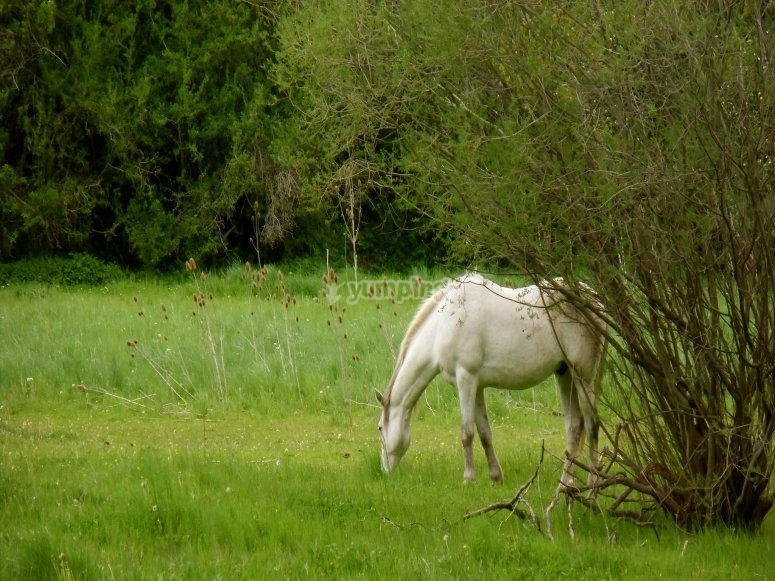Caballo blanco en plena naturaleza