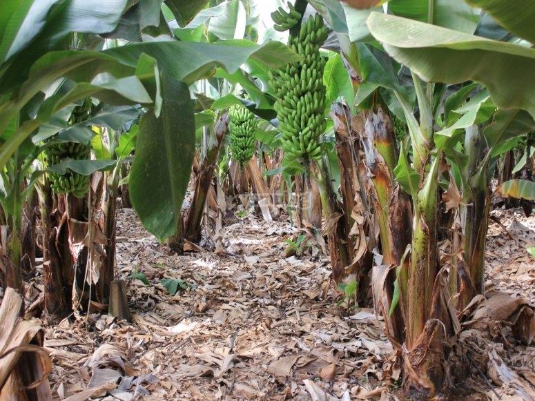 加那利群岛南部的香蕉种植园