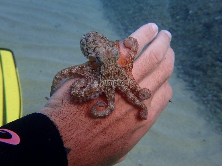 Octopus at cala Gogo