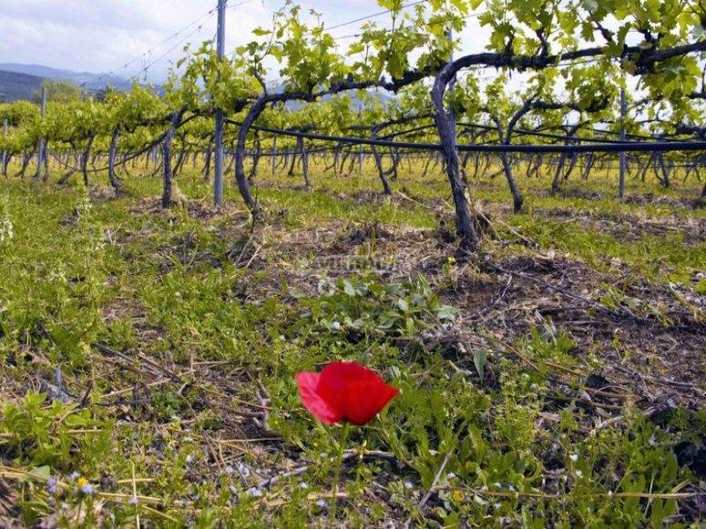 Ocho hectareas de uvas