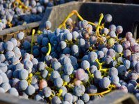 Uvas de calidad