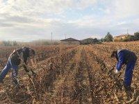 葡萄酒的路线和为儿童修剪Haro的葡萄藤