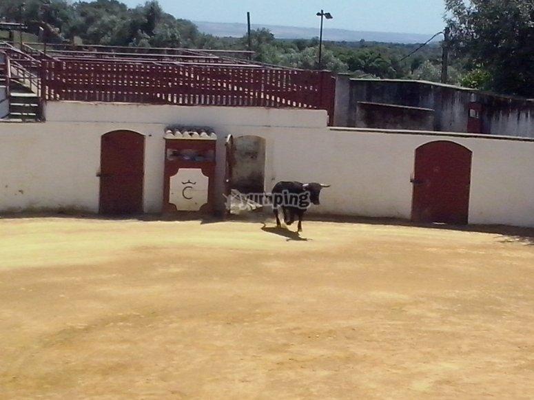 Spettacolo della corrida nella fattoria