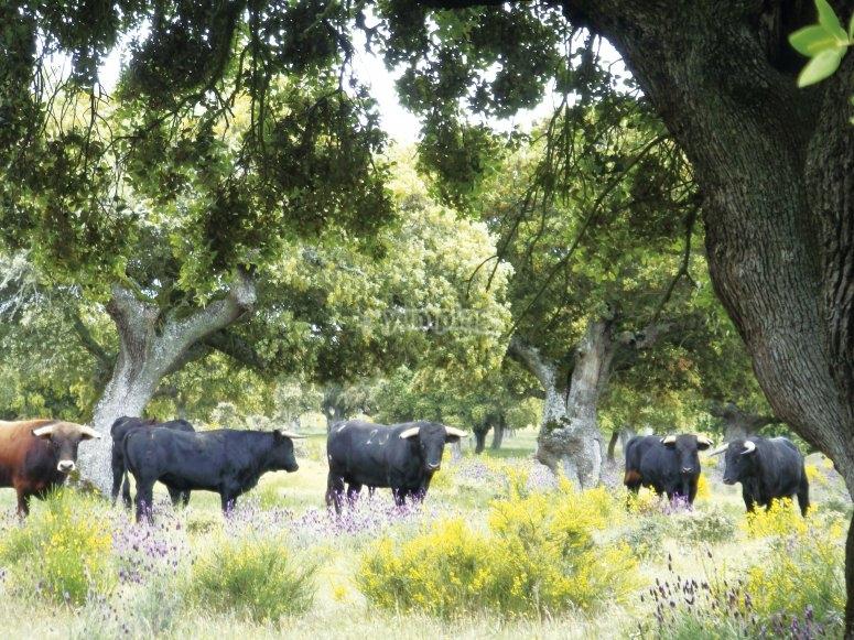 Manada de toros bravos en campo de Salamanca