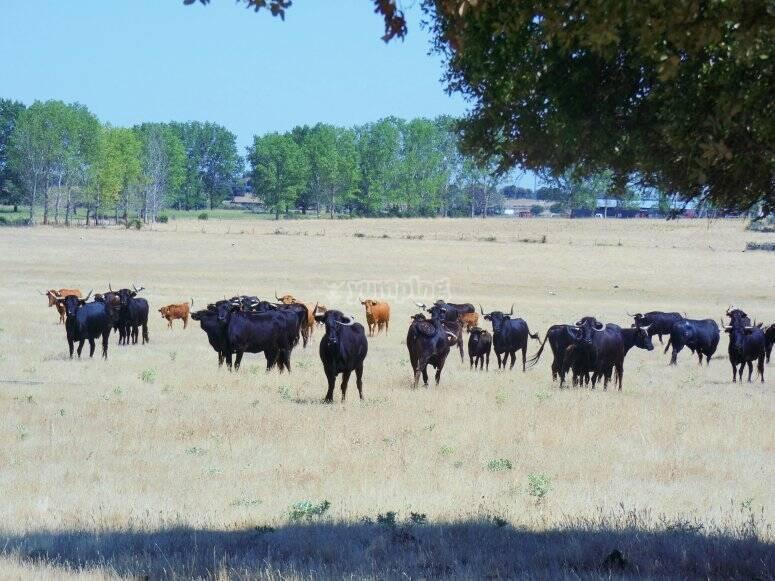 Visita guiada toros de lidia Ledesma