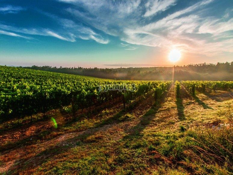 雷克纳(Requena)的葡萄酒种植