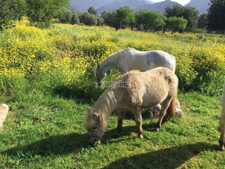 Ponys pastando en libertad