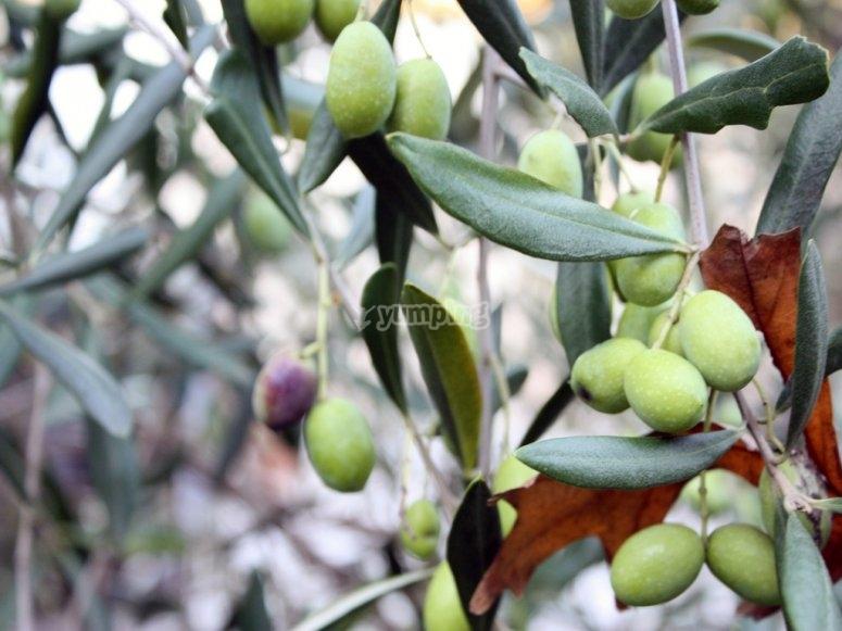 Cluster of Valencian olives