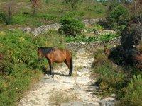 Caballo pastando en Galicia