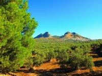 Paseo entre olivares en ruta de senderismo