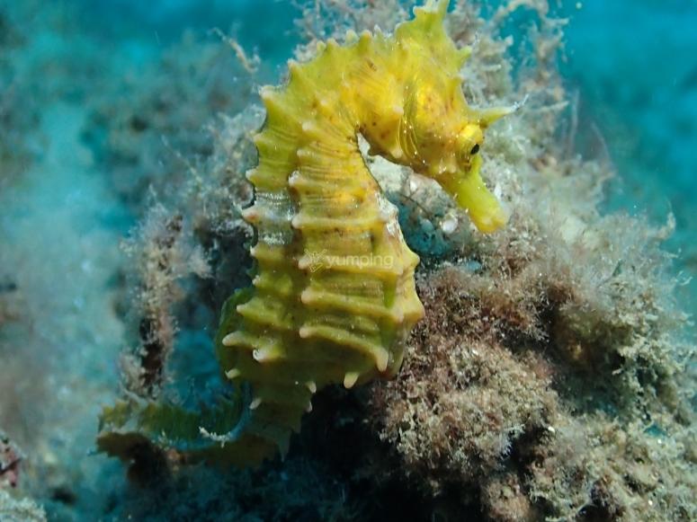 Costa Dorada的黄海马