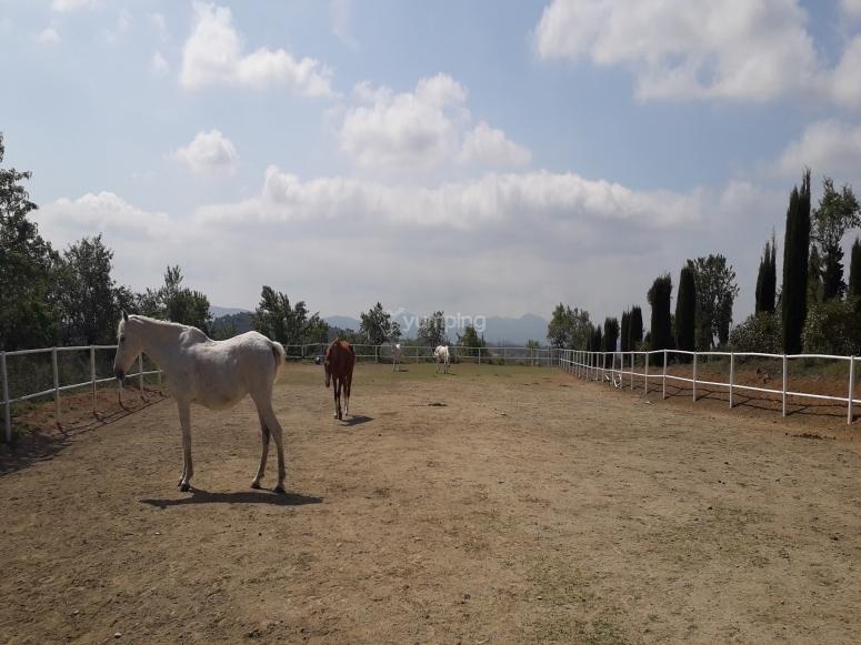 Caballo blanco en pista de hípica