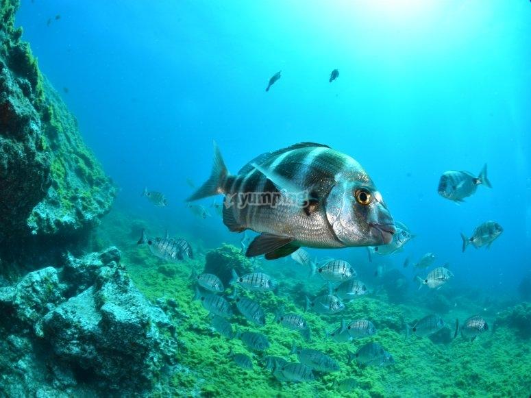 Buceando entre peces vida marina canaria