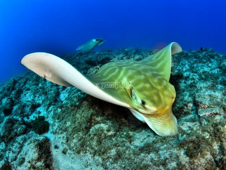 Rica fauna marina: mantas y rayas