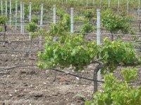 tierras de uva