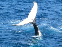 Ballena de cola blanca