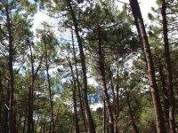 pine groves