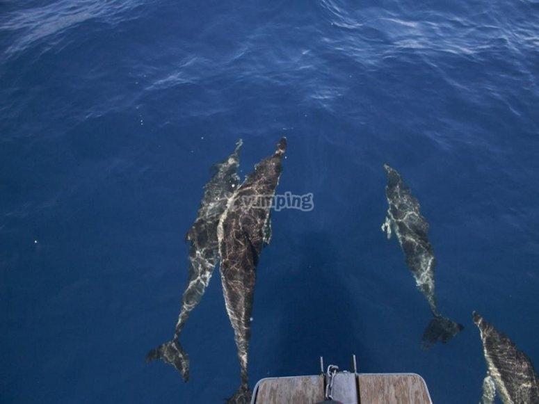 Paseo en barco para avistar delfines Tenerife