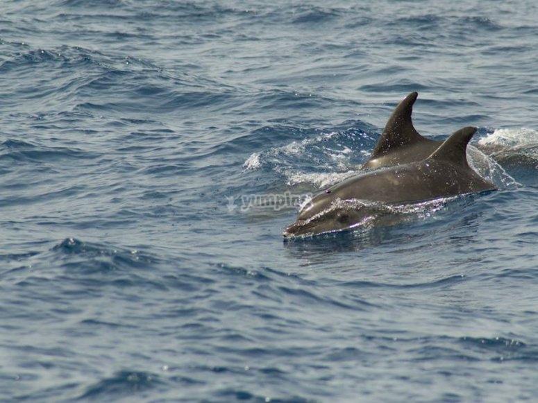 Delfines en el Atlántico