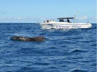 Boat trip for cetacean sighting Tenerife