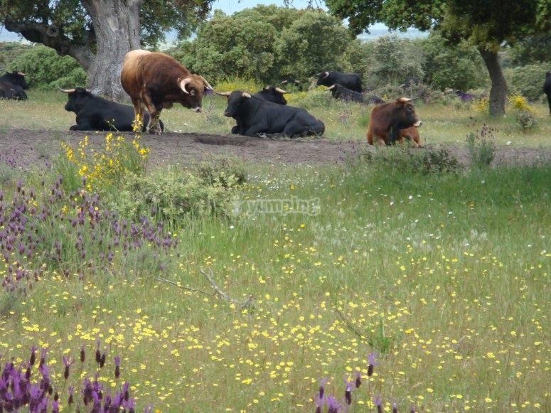 Toro bravo en su hábitat natural
