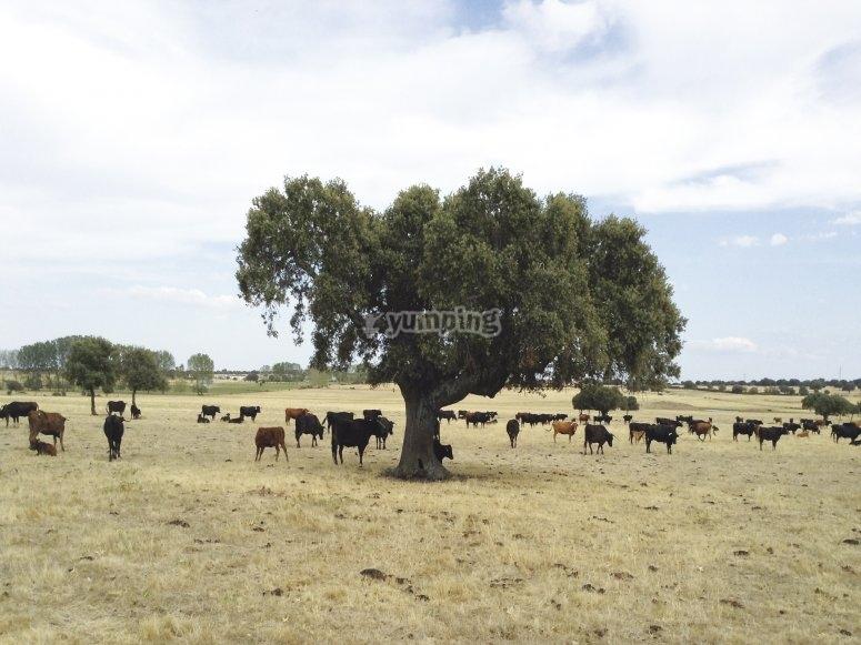Ruta guiada en finca con toros bravos