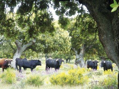 Tour e cibo nel toro toro di bestiame Salamanca