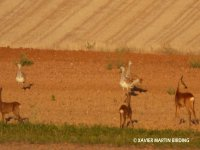 Bustards and roe deer