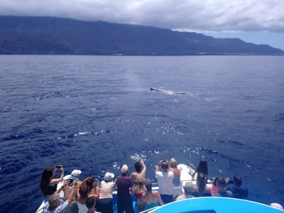 Cetacean sighting from boat in La Palma adults