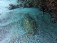 Cefalopodo en el lecho marino