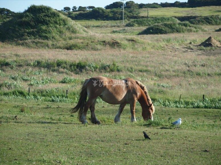 在草原上放牧小马