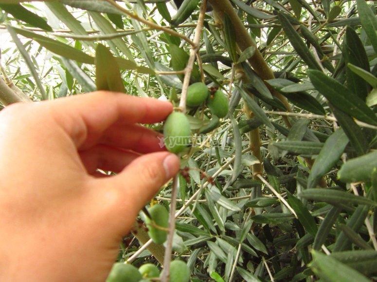 Experiencia de oleicultura en Montiel