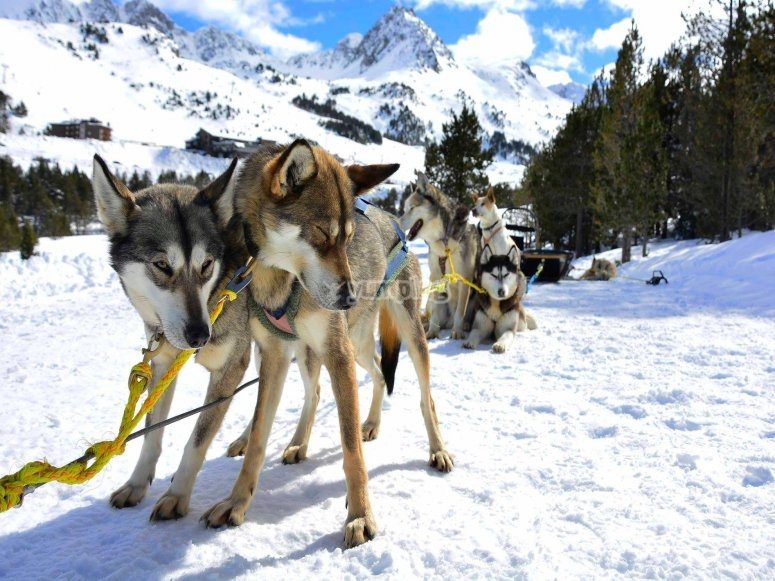 Adorabili husky pronti per il mushing in Andorra