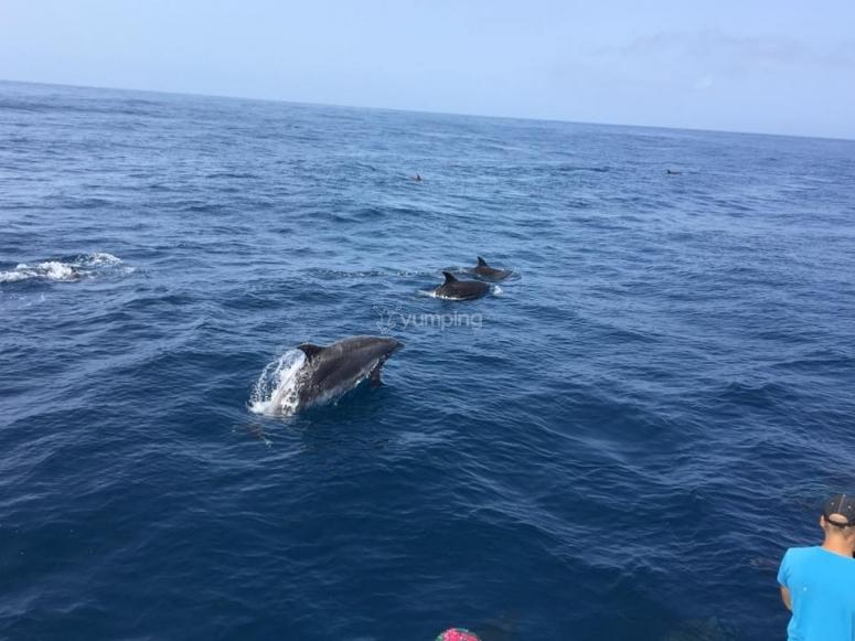 游览加那利群岛的鲸鱼