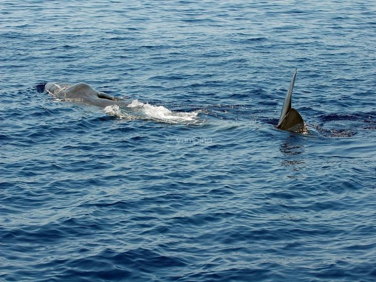 大西洋鲸类