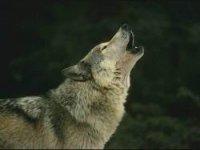 hay lobos en la zona