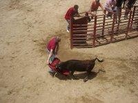 Heifers in capeas