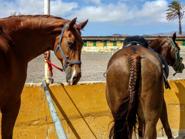 Docile horses ready for the route
