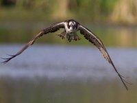 El águila pescadora (Pandion haliaetus) vuelve a las Marismas del Odiel