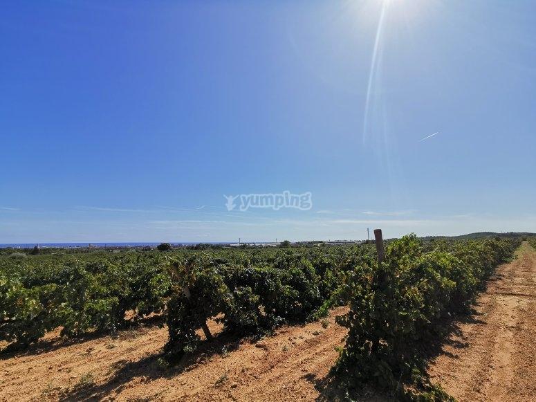 Paseo por viñedos en El Garraf