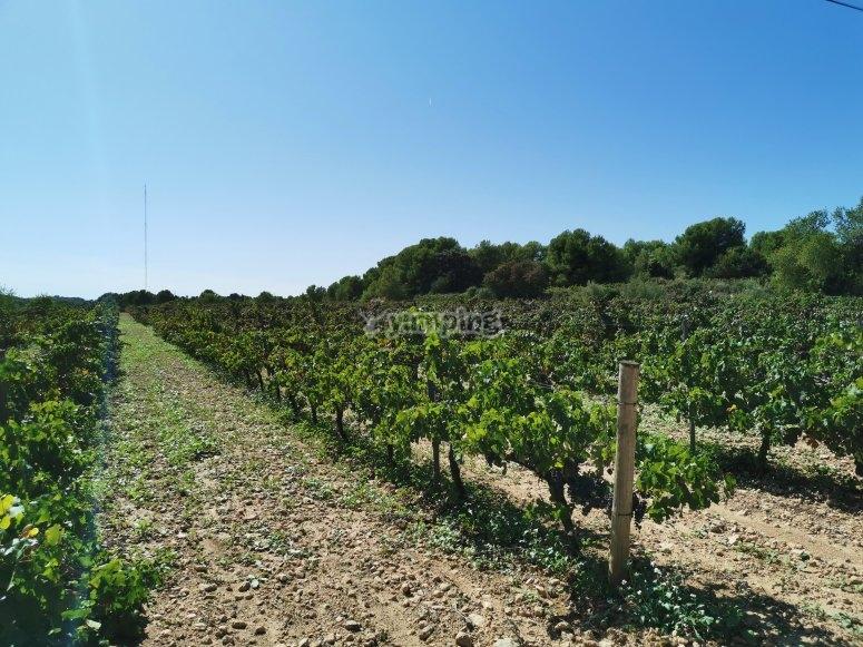Campo de viñedos del Garraf