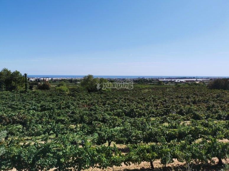 Paseo por viñedos en Villanueva y Geltrú