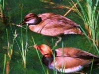 Ducks in their habitat